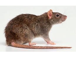 Rata marrón